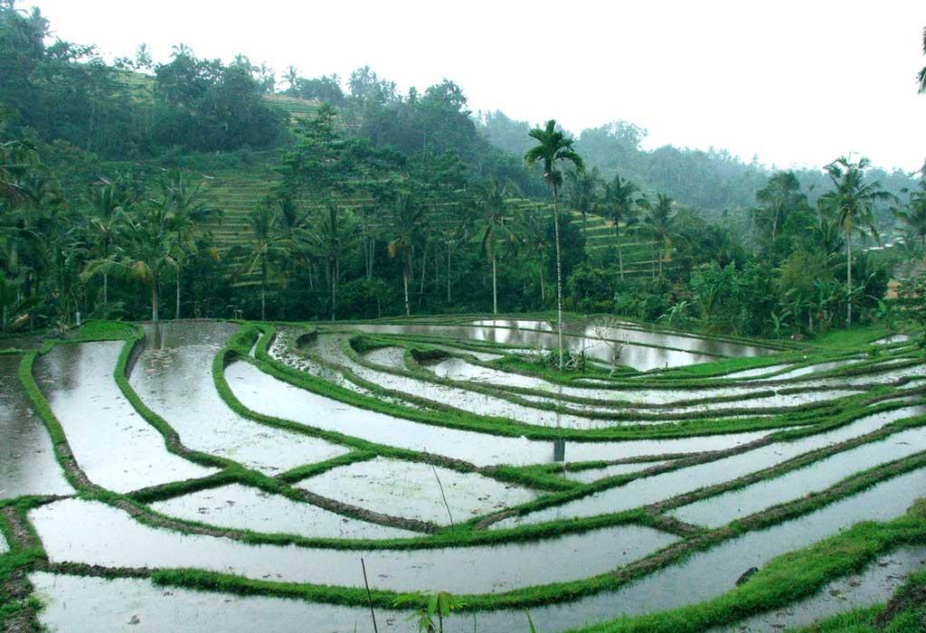 O que fazer em bali: visitar os campos de arroz