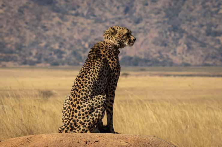 Cheetah's Rock